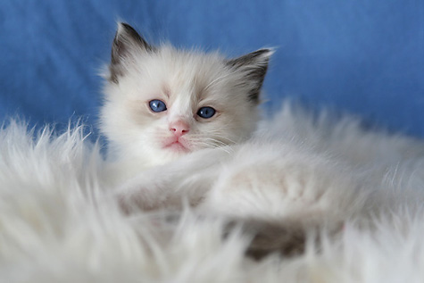 Kattungar till salu 2018